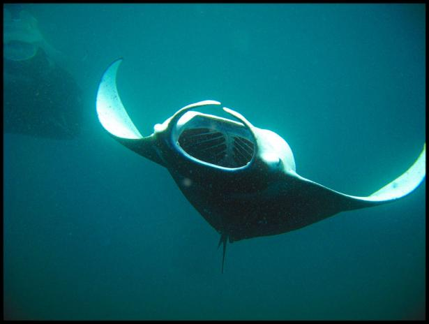 <p><strong>Fig. 4.81.</strong> A manta ray feeding on tiny planktonic organisms.</p><br />