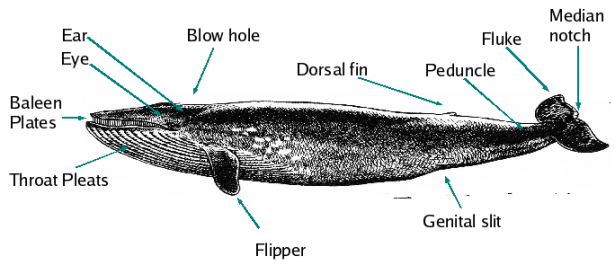 <p><strong>Fig. 6.14.</strong> General cetacean anatomy</p><br />