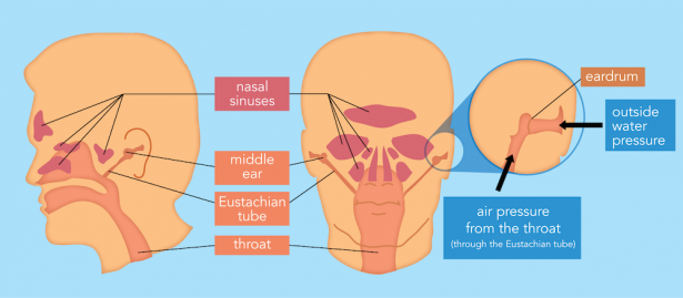 <p><strong>Fig. 9.15.</strong> Air spaces in the head include the middle ear, the Eustachian tube, the nasal sinuses, and the throat. These areas respond to changes in pressure.</p><br />