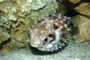 <p><strong>(B) </strong>An inflated porcupine fish</p><br />