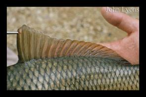 <p><strong>Fig. 4.27. (A)</strong> The elongated dorsal fin of a common carp, with 1 spine and 15-22 soft rays.</p><br />