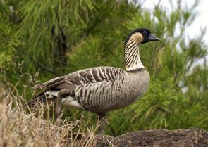 <p><strong>Fig. 1.10.</strong> Hawaiian goose or <em>nēnē</em> (<em>Branta sandvicensis</em>), Kīlauea Point, Kaua'i, Hawai'i.</p><br />