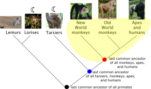 <p><strong>Fig. 1.17.</strong> Phylogenetic trees show evolutionary relationships between species or other groups of organisms. A sample monophyletic group of monkeys, apes, humans, and their last common ancestor (red dot) is highlighted in yellow. A second potential monophyletic group could include those in yellow as well as the tarsiers and the last common ancestor of this larger group (blue dot).</p><br />