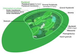 <p><strong>Fig. 2.15.</strong> Diagram of a chloroplast</p><br />