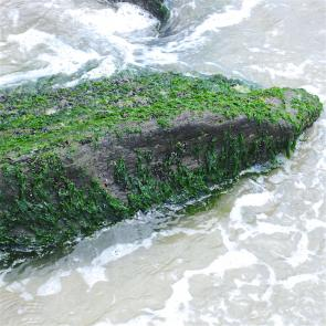 <p><strong>Fig. 2.3.</strong>&nbsp;(<strong>C</strong>) Green macroalga sea lettuce, <em>Ulva</em> sp., in a coastal, rocky intertidal zone</p><br />