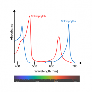 <p><strong>Fig. 2.41.</strong> Relative absorbance of the visible wavelengths in sunlight by the pigments chlorophyll <em>a</em> and chlorophyll <em>b</em></p>