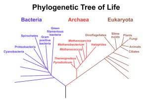 "<p><strong>Fig. 2.5.</strong> Diagram of evolutionary tree of life showing three domains: Bacteria, Archaea, and Eukaryota. Bacteria and Archaea species (shown in blue and red, respectively) are considered prokaryotic. Species in the domain Eukaryota (sometimes ""Eukarya;"" show in brown) are considered eukaryotic.</p>"