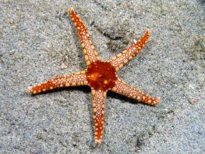 <p><strong>Fig. 3.10.</strong> (<strong>D</strong>) Tile sea star (<em>Fromia monilis</em>; phylum Echinodermata) exhibiting five-way or pentaradial symmetry</p><br />