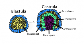 <p><strong>Fig. 3.15.</strong> Gastrulation is the phase of embryonic development where three germ layers specialize and reorganize.</p><br />