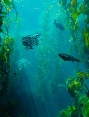 <p><strong>Fig. 3.24.</strong> (<strong>B</strong>) Kelp forest, Monterey, California</p>