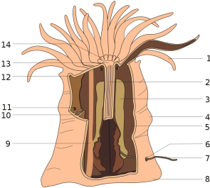 <p><strong>Fig. 3.28.</strong> Anatomy of a sea anemone showing some internal structures. 1. Tentacle, 2. Pharnyx, 5. Septum, 8. Pedal disk, 9. Retractor muscle, 12. Collar, 13. Mouth, 14. Oral disk</p><br />
