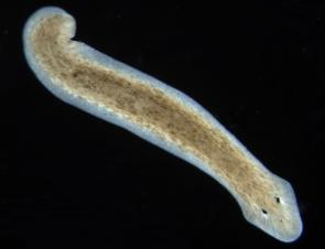 <p><strong>Fig. 3.36.</strong>&nbsp;(<strong>E</strong>) Freshwater planarian flatworm <em>Dugesia subtentaculata</em></p><br />