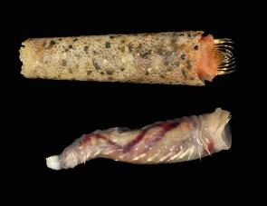 <p><strong>Fig. 3.45.</strong> (<strong>A</strong>) Ice cream cone worm, <em>Pectinaria koreni</em> with and without tube (Family Pectinariidae)</p><br />
