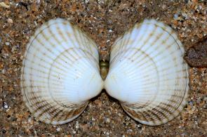 <p><strong>Fig. 3.51.</strong>&nbsp;(<strong>C</strong>) Cockle shells (class Bivalvia)</p><br />