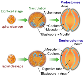 <p><strong>Fig. 3.6.</strong> Diagram comparing embryonic development in protosome and deuterostome animals</p><br />