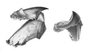 <p><strong>Fig. 3.66.</strong> (<strong>A</strong>) Drawing of beak parts</p><br />