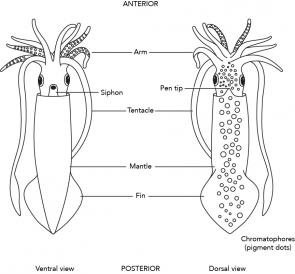 <p><strong>Fig. 3.71.1.</strong> Diagram of external squid anatomy</p><br />