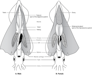 <p><strong>Fig. 3.71.2.</strong> Diagram of internal squid anatomy</p><br />