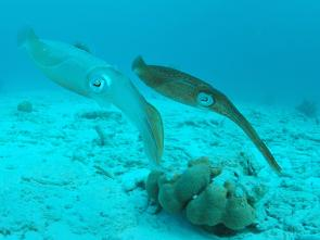 <p><strong>Fig. 3.71.</strong> (<strong>C</strong>) Two Caribbean reef squid (<em>Sepioteuthis sepioidea</em>) exhibiting chromatophore color changes</p><br />