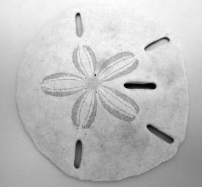 <p><strong>Fig. 3.86. </strong>(<strong>A</strong>) Sand dollar</p><br />