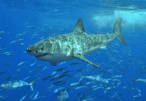 <p><strong>Fig. 4.1.</strong> Great white shark (<em>Carcharodon carcharias</em>) surrounded by fusiliers (family Caesionidae), Isla Guadalupe, Mexico</p><br />