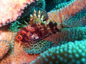 <p><strong>Fig. 4.22</strong><strong>.(</strong><strong>B)</strong> The dorsal fin of a lionfish has spines and poison for protection</p><br />