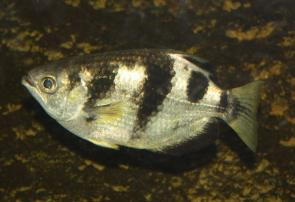 <p><strong>Fig. 4.66. (A)</strong> an Archer fish (Toxotes microlepis) feeds by shooting fish with streams of water and can bring down insects up to 3 m above the water's surface.</p><br />