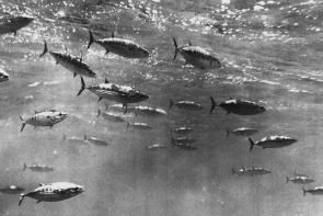 <p><strong>Fig. 4.75. (A) </strong>Skijack tuna (Katsuwonus pelamis) swimming in a loose school, called a shoal.</p><br />