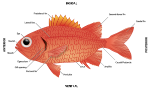 <p><strong>Fig. 4.9.</strong>&nbsp;(<strong>B</strong>) Anatomy of a soldierfish, <em>Myripristis </em><em>berndti</em></p><br />