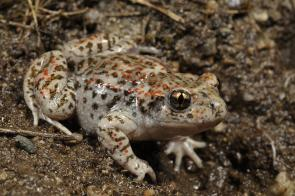 <p><strong>Fig. 5.11.</strong>&nbsp;(<strong>B</strong>) Iberian midwife toad (<em>Alytes cisternasii</em>)</p><br />