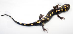 <p><strong>Fig. 5.18.</strong>&nbsp;(<strong>B</strong>) Spotted salamander (<em>Ambystoma maculatum</em>) adult</p><br />