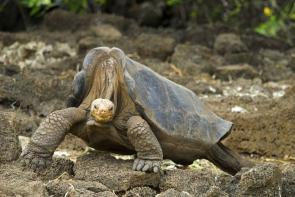 <p><strong>Fig. 5.23.</strong> (<strong>A</strong>) A Galápagos Pinta Island tortoise (<em>Chelonoidis nigra abingdoni</em>) named Lonesome George was the last member of his species when he died in 2012.</p><br />