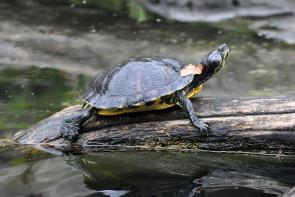 <p><strong>Fig. 5.23.</strong>&nbsp;(<strong>B</strong>) Yellow-bellied slider (<em>Trachemys scripta scripta</em>)</p><br />