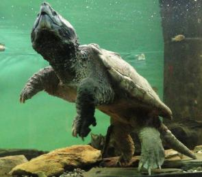 <p><strong>Fig. 5.23.</strong>&nbsp;(<strong>C</strong>) Alligator snapping turtle (<em>Macroclemys temminckii</em>)</p><br />