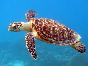 <p><strong>Fig. 5.24.</strong>&nbsp;(<strong>B</strong>) Hawksbill sea turtle (<em>Eritmochelys imbricata</em>)</p><br />