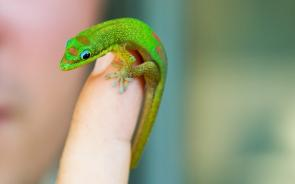 <p><strong>Fig. 5.26.</strong> (<strong>A</strong>) Geckos like this gold dust day gecko (<em>Phelsuma laticauda</em>) are the most diverse group of lizards.</p><br />
