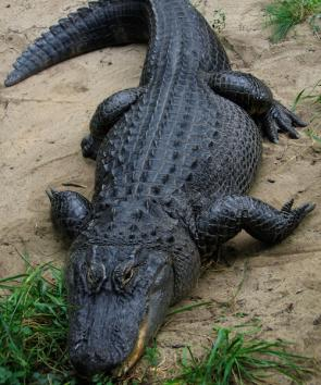 <p><strong>Fig. 5.27.</strong> (<strong>A</strong>) American alligator (<em>Alligator mississippiensis</em>)</p><br />