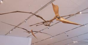 <p><strong>Fig. 5.28.</strong>&nbsp;(<strong>C</strong>) Replica fossil skeletons of <em>Geosternbergia</em> sp., a flying pterosaur related to dinosaurs</p><br />