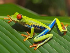 <p><strong>Fig. 5.2.</strong> (<strong>A</strong>) Red-eyed tree frog (<em>Agalychnis callidryas</em>), an example of an amphibian , Playa Jaco, Costa Rica</p><br />