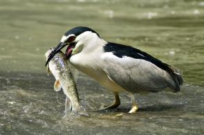 <p><strong>Fig. 5.41.</strong>&nbsp;(<strong>A</strong>) Black-crowned night heron (<em>Nycticorax nycticorax</em>) with fish prey</p><br />