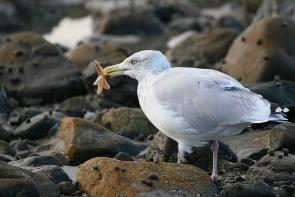 <p><strong>Fig. 5.47.&nbsp;</strong>(<strong>C</strong>) American herring gull (<em>Larus smithsonianus</em>) eating a starfish, Plum Island Nature Preserve, Massachusetts</p><br />
