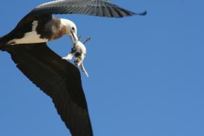 <p><strong>Fig. 5.47.</strong>&nbsp;(<strong>D</strong>) Immature great frigatebird (<em>Fregata minor</em>) with a sooty tern (<em>Onychoprion fuscata</em>) chick snatched from breeding colony, Tern Island, French Frigate Shoals, Northwestern Hawaiian Islands</p><br />