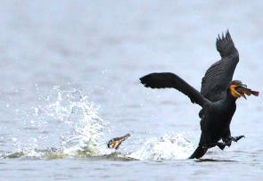 <p><strong>Fig. 5.49.</strong>&nbsp;(<strong>D</strong>) Food stealing behavior between two cormorants</p><br />