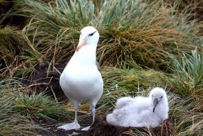 <p><strong>Fig. 5.51.</strong> (<strong>A</strong>) Black-browed albatross (<em>Thalassarche melanophris</em>) and chick, West Point Island, Falkland Islands</p><br />