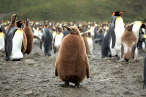 <p><strong>Fig. 5.51.</strong>&nbsp;(<strong>B</strong>) King penguin (<em>Aptenodytes patagonicus patagonicus</em>) chick in juvenile plumage, Salisbury Plain, South Georgia Island, south Atlantic ocean basin. Other king penguin chicks in the background are molting their juvenile feathers.</p><br />