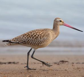 <p><strong>Fig. 5.54.</strong> (<strong>A</strong>) Bar-tailed godwit (<em>Limosa lapponica</em>), Hokkaido, Japan</p><br />