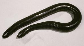 <p><strong>Fig. 5.9.</strong>&nbsp;(<strong>C</strong>) Mexican caecilian (<em>Dermophis mexicanus</em>)</p><br />