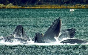 <p><strong>Fig. 6.24.</strong>&nbsp;(<strong>C</strong>) Humpback whales engulfing prey after employing the bubble-net technique, Lynn Canal, Alaska</p><br />