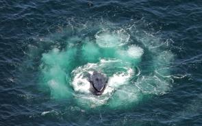 <p><strong>Fig. 6.24.</strong>&nbsp;(<strong>D</strong>) Humpback whale lunging in the center of a bubble net spiral</p><br />