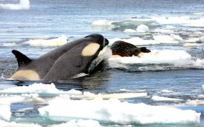 <p><strong>Fig. 6.25.</strong> (<strong>D</strong>) Killer whale (<em>Orcinus orca</em>) attacking a Weddell seal (<em>Leptonychotes weddellii</em>) on sea ice, Antarctica</p><br />